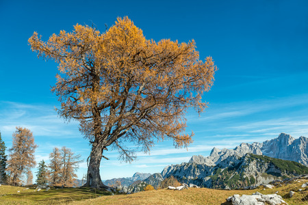 pica: Lonely Old Larch Tree, mountains panorama
