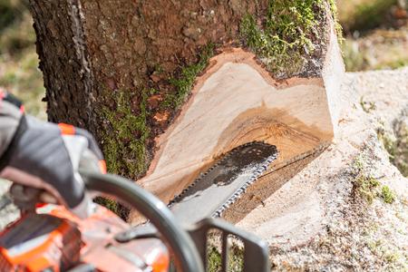 Lumberjack cutting tree in forest Standard-Bild