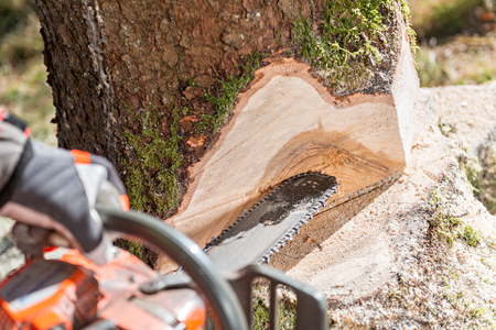 Lumberjack cutting tree in forest Stockfoto