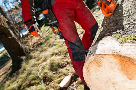 tree cutting: Lumberjack cutting and measuring a tree in forest