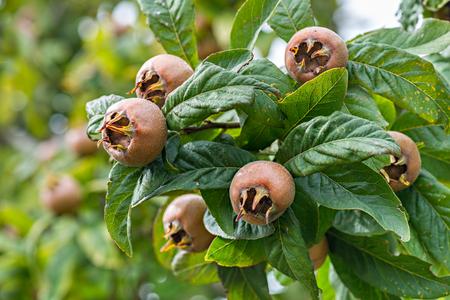 Healthy Medlars in fruit tree Standard-Bild