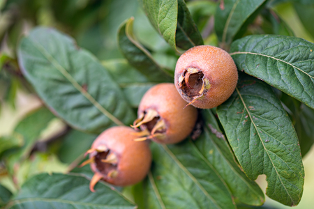 Healthy Medlars in fruit tree Stock Photo