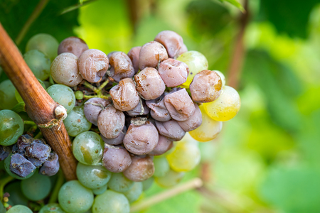 phenomenon: Noble rot of a wine grape, botrytised grapes