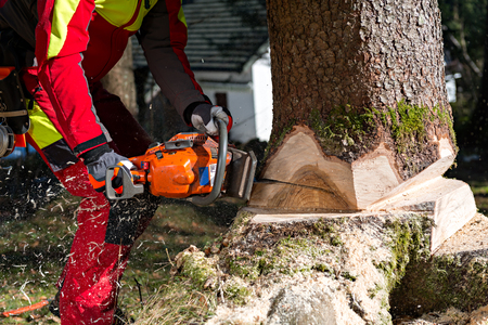 Lumberjack logger worker in protective gear cutting firewood timber tree in forest with chainsaw Archivio Fotografico
