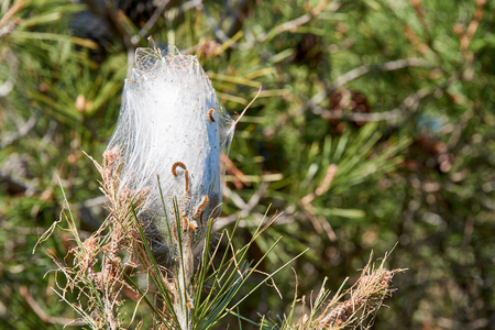Thaumetopoea pityocampa - nest of a pine processionary moth with caterpillars on a pine branch.