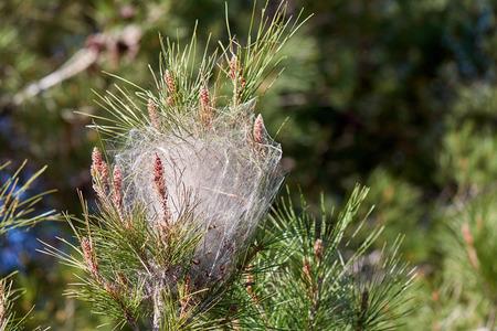 Thaumetopoea pityocampa - 松の枝に毛虫とパインの processionary 蛾の巣。