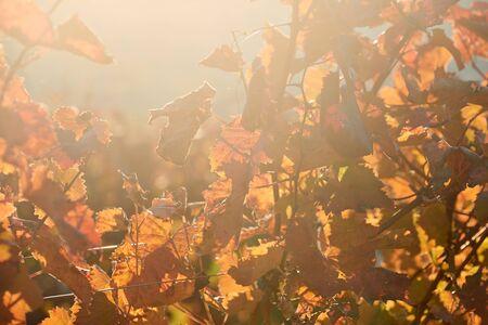 Autumn leaves in vineyard
