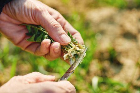 Harvesting dandelion greens Stock Photo
