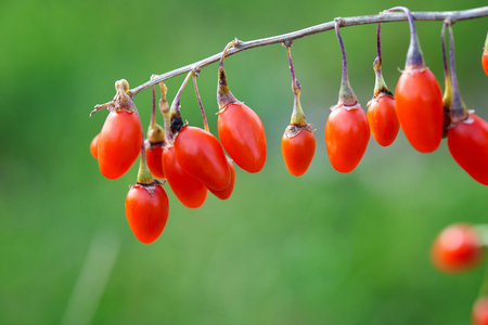 Goji berry Twig filled with fresh goji berries