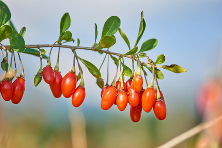 Goji berry Twig filled with fresh goji berries Imagens
