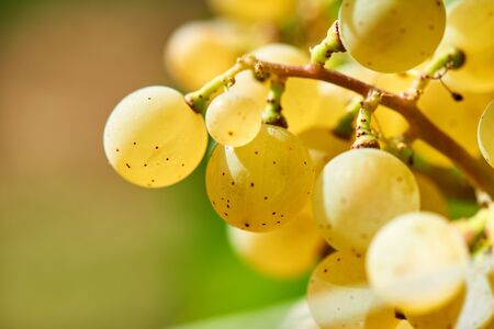 Sun setting on White grapes - close up of a bunch of grapes, background. Archivio Fotografico - 132084516