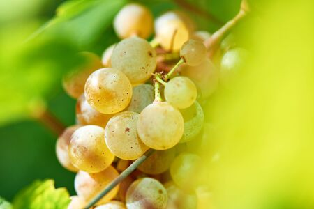 Sun setting on White grapes - close up of a bunch of grapes, background. Archivio Fotografico - 132084523
