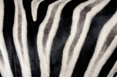 background which the structure of hide of zebra is represented on photo