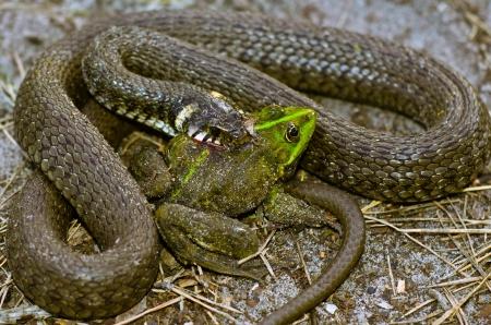 the fittest: Snake eats frog