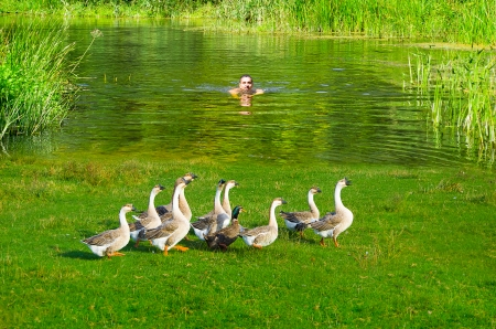 A young man swims to shore with a flock of geese photo