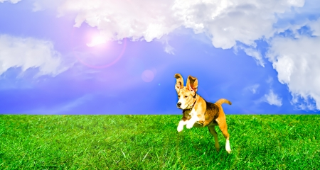 blue backgrounds: Playful cute dog jumping on a lawn Stock Photo