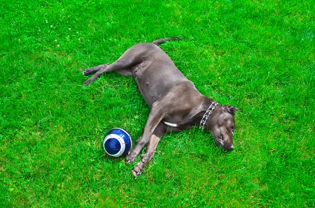 Dog lying on the lawn next to the soccer ball photo