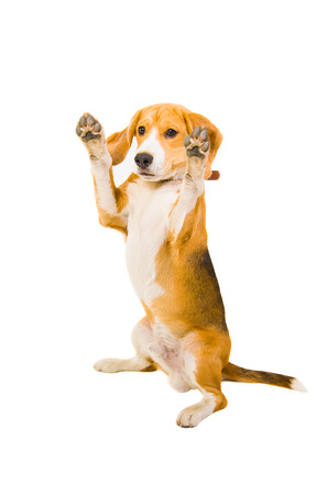 Beagle standing on its hind legs  Isolated