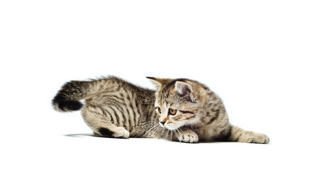 Scottish Straight breed kitten hunts for his tail isolated on white background