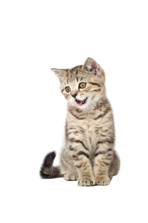 Kitten Scottish Straight meows isolated on white background
