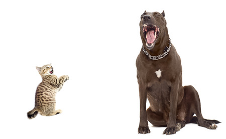 Kitten was scared big dog Isolated on white background Stock Photo - 25522020