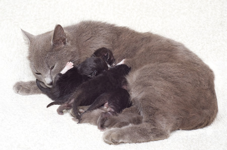 Cat breastfeeding kittens photo