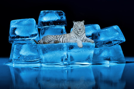 White Bengal tiger lying on blue ice cubes