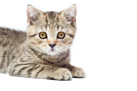 Portrait of a attractive kitten Scottish Straight closeup photo