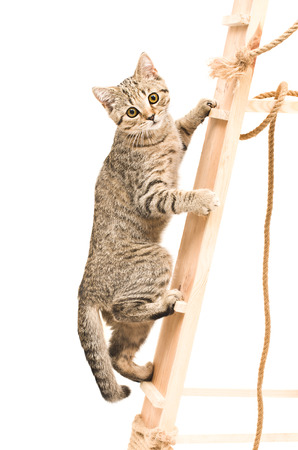 Kitten Scottish Straight climbing the wooden stairs Stockfoto