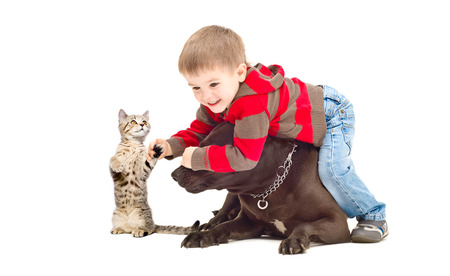 black and white pit bull: Funny game between a boy, a dog and a kitten