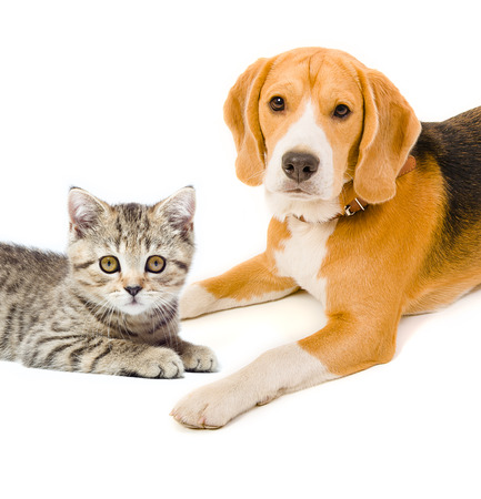 Kitten Scottish Straight and beagle dog photo