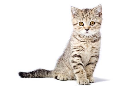 子猫スコティッシュ ストレート白い背景で隔離