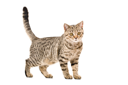 Young cat Scottish Straight standing isolated on white background