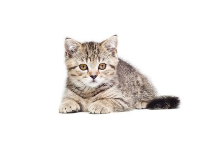 Beautiful  kitten Scottish Straight  lying  isolated on white background photo