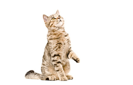 Young cat Scottish Straight sitting curious to looking up photo