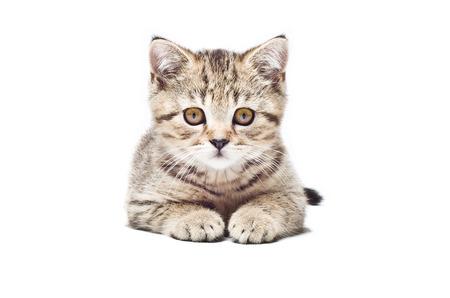 Cute kitten Scottish Straight isolated on white background photo