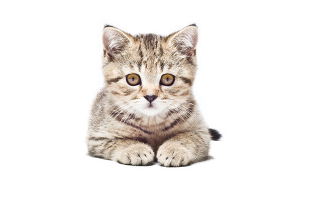 Cute kitten Scottish Straight isolated on white background Stock Photo