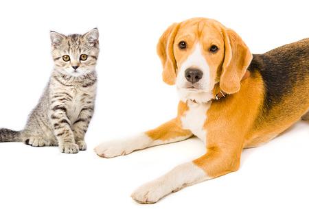 Portrait Beagle chien et chaton droit écossais Banque d'images - 29455389
