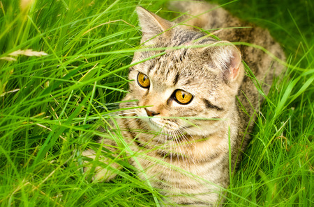 Scottish Straight kitten lying in the grass photo