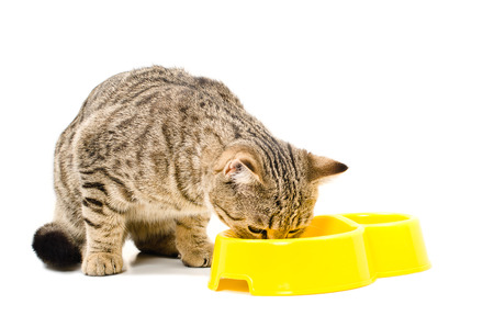 スコットランド ストレート猫食べるに孤立した白い背景 写真素材