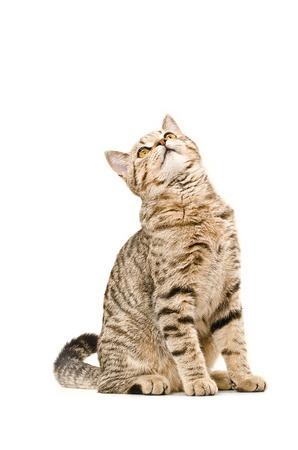 猫スコットランドまっすぐ座って見上げてみたい