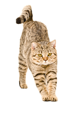 Portrait of a Scottish Straight cat that stretches isolated on white background