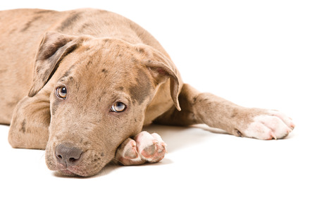 Portrait of a pitbull puppy close-up lying on white background