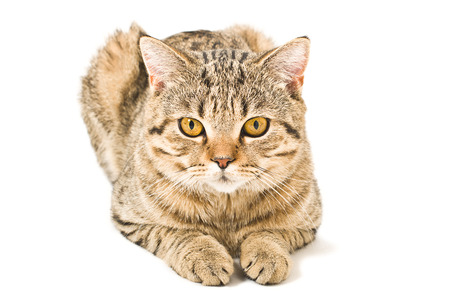 Portrait of a young Scottish Straight cat on a white background Stock Photo