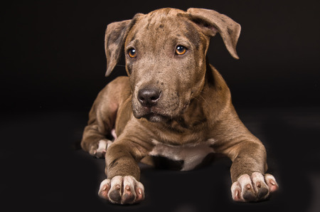Cute puppy pitbull lying on a black background Stockfoto