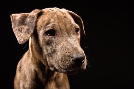 Portrait of a cute puppy pitbull closeup on black background photo