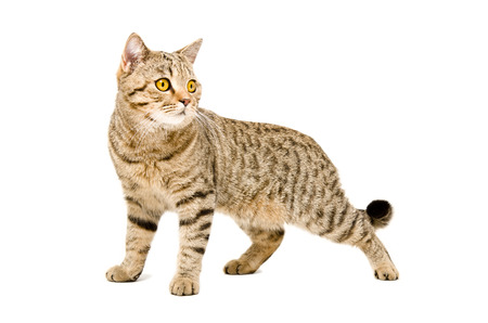 Portrait Scottish Straight cat stands isolated on white background