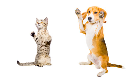 Cat and dog standing on his hind legs photo