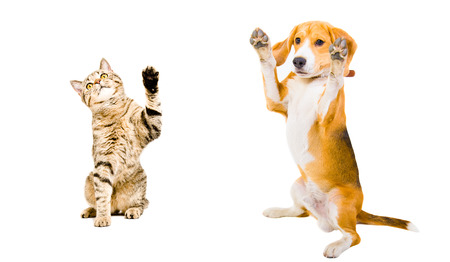scottish straight: Cat and dog standing together isolated on white background
