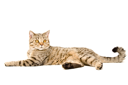 Portrait of a graceful cat Scottish Straight lying isolated on white background photo